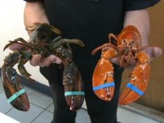 Extraordinarily rare bright orange lobsters caught Only 1 in 10 million occur in this color, but a Nova Scotia fish market recently received a shipment of 35; all will be spared the boiler