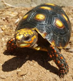 Small Red Foot Tortoises for sale