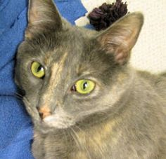 Adopt Amelia @ Feline Rescue Saint Paul, MN. Decisive, Affectionate, Intelligent, fully vetted, adult female, spayed