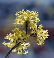 Frühling-Kornelkirsche