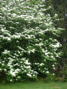 Mock Orange Bush, Mock Orange Shrub, Garden Shrubs, Garden Trees, Shade Garden, Fruit Garden, Garden Gnomes, Moon Garden, Dream Garden