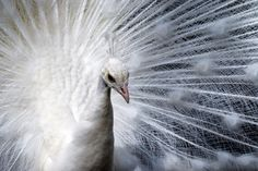 Thanks to selective breeding, it's common for captive peafowl to buck the iridescent trend for all white feathers. This is called leucism, and it's due to a genetic mutation that causes loss of pigmentation. These peafowl are often mistaken for being albino, but instead of having red eyes, animals with leucism retain their normal eye color.    9 Feathery Facts About Peacocks | Mental Floss