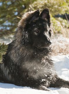 SHILOH SHEPHERD... I saw one of these today so naturally now I would love to own one.  Such sweet animals