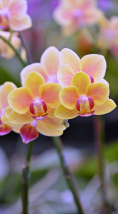 Thailand orchids (Wil 5834)