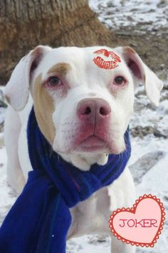 ">>>URGENT!!! PLEASE RESCUE/ADOPT/SPONSOR  THIS LOVABLE BOY ""JOKER"" (very sweet boy)...YOUNGSTOWN, OHIO...Available on: 2/3Contact: fofmcdp@gmail.comJoker (ID #95) is a young, handsome, already neutered male American Bulldog who was surrendered by his owner. He is thin, and has already had a tough start in life being at the pound over the..."