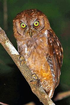 Only in Tanzania The only in Tanzania quest continues. Why Tanzania? Today we introduce and explore the birds of Tanzania. Tanzania in East Africa has a wide range of endemic bird species. Owl Photos, Owl Pictures, Owl Species, Nocturnal Birds, World Birds, Beautiful Owl, Wise Owl, Owl Art, Owls
