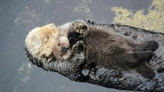 Animals And Pets, Baby Animals, Funny Animals, Cute Animals, Baby Giraffes, Wild Animals, Otter Facts, Baby Sea Otters, Otter Pup