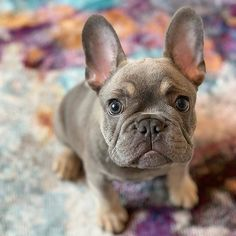 Post with 29 votes and 732 views. Tagged with cute, puppy, dog, national dog day, dogs are the best people; French Bulldog Drawing, Baby French Bulldog, French Bulldog Tattoo, French Bulldogs, French Bulldog Temperament, Cute Puppies, Cute Dogs, French Dogs, Shih Tzu Puppy