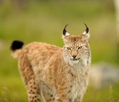 Male Lynx Langedrag Norway