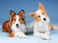 Sable, and Red Border Collie