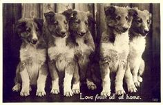 . Collie Dog, Border Collies, Dogs, Animals, Image, Photos, Animales, Pictures, Animaux