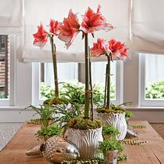 Colorful and elegant amaryllis are great for adding color to your home or as a holiday gift.