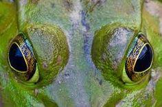 Image result for american bullfrog