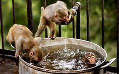 Οι μαϊμούδες ποικίλουν σε μέγεθος από την Πυγμαία Μαρμοζέτα, των 14 με 16 εκατοστών μήκος (μαζί με την ουρά) και των 120 με 140 γραμμαρίων βάρος, στον αρσενικό Μανδρίλο, του ενός μέτρου ύψος και 35 κιλών βάρος. Πολλές μαϊμούδες είναι δενδρόβιες, ενώ άλλες ζουν σε σαβάνες. Η δίαιτα τους διαφέρει από είδος σε είδος και περιλαμβάνει συνήθως τα εξής: φρούτα, φύλλα, καρπούς, καρύδια, λουλούδια, αυγά και μικρά ζώα (συμπεριλαμβανομένων των εντόμων και των αραχνών).