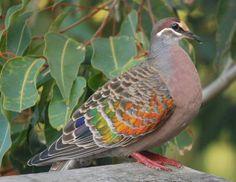 Common Bronzewing - Phaps chalcoptera aka Rainbow Pigeon