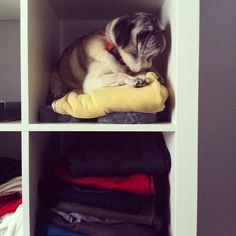 Mr. Pug says: I'm napping and shedding on your clothes at the same time. I'm being efficient. You're welcome.