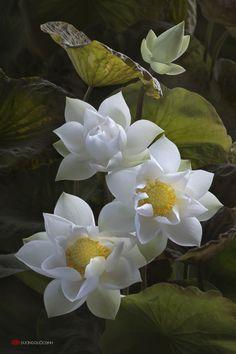 Фото Прекрасные цветы белых лотосов, by duongquocdinh [ TheGardenFountainStore.com ]