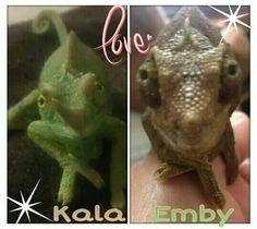 <3 Jackson Chameleons <3