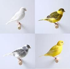 canaries birds - Google Search
