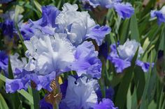 Bearded Irises Flowers art prints, Blue Purple White Lavender canvas prints Iris Flower Floral, framed prints gifts, Baslee Troutman Fine Art Galleries, a Sierra Club photographer artist June 2014 (poppy flowers)
