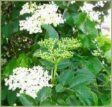 Elderflower Tincture | Herbal Remedy Information