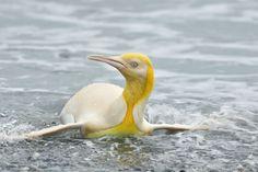Salisbury, Penguin Walk, King Penguin, Sea Elephant, South Georgia Island, Yellow Feathers, Flightless Bird, Rare Birds, Once In A Lifetime