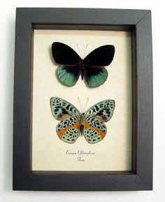 Butterflies bohemian