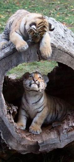 Tiger cubs in a hollow log.