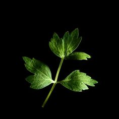 Lovage is the fresher version of a bouillon cube and a natural flavour enhancer without salt! No wonder lovage is commonly used in soups and stews. But it also tastes very nice with cooked vegetables, fish and pork. Chop, add to food and taste. Start small though – bit of lovage goes a long way. #herb