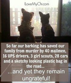 Chihuahuas.......
