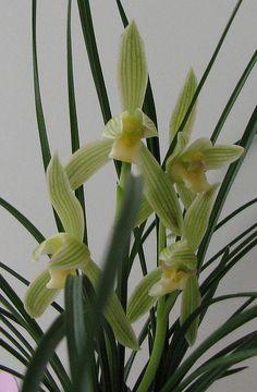 Cymbidium lianpan 'Tibet White Flower'