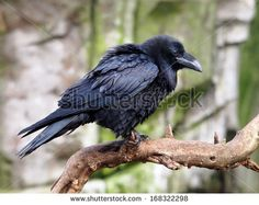 Raven Stock Photos, Images, & Pictures   Shutterstock