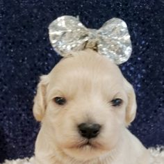 Molly is a Female Shihpoo puppy for sale at PuppySpot. Call us today to learn more (reference 627046 when you call). Shih Poo Puppies, Puppy Facts, Puppy Finder, Puppy Mills, Take A Nap, Puppies For Sale, Best Dogs, Labrador Retriever, Animals