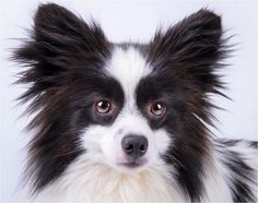 Adoptable-Purebred- Handsome-Male-Black-White-Pomeranian-National Mill Dog Rescue | Daily Dog Tag |