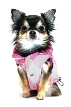 this pup is adorable in her lil puffer vest!