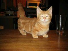 Aww midget cat! I want one so bad❤