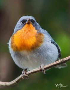 Flame-throated Warbler - Google Search