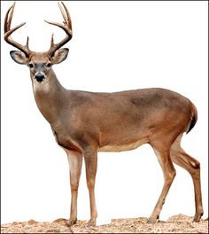A 4-1/2 -year-old buck