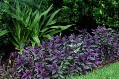 I might be biased, but what better plants for a summer garden than tropicals? Tropical plants happen to thrive on the very same heat and hum. Florida Landscaping, Landscaping Near Me, Florida Gardening, Tropical Landscaping, Landscaping Plants, Tropical Backyard, Pool Plants, Shade Plants, Purple Plants