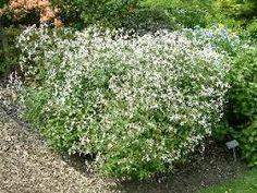 Gillenia trifoliata - shade loving