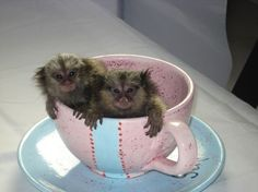 Welcome to Poggi's Animal House, exotic animal sanctuary and marmoset monkeys for sale. Come learn about our exotic collection of animals. Monkey Pictures, Animal Pictures, Zoo Animals, Cute Baby Animals, Marmoset Monkey For Sale, Monkeys For Sale, Exotic Cats, Exotic Animals, Slow Loris