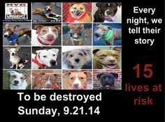 TO BE DESTROYED: 15 Dogs to be euthanized by NYC ACC- SUN.. 9/21/14. This is a HIGH KILL shelter group. YOU may be the only hope for these pups! ****PLEASE SHARE EVERYWHERE!! To rescue a Death Row Dog, Please read this: http://urgentpetsondeathrow.org/must-read/ To view the full album, please click here: https://www.facebook.com/media/set/?set=a.611290788883804.1073741851.152876678058553&type=3
