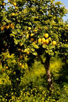 Sicily Some Favorites Some Impressions delicious:days Citrus Trees, Fruit Trees, Citrus Fruits, Garden Trees, Mellow Yellow, Growing Plants, Garden Inspiration, Countryside, Places To Go