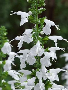Salvia 'Summer Jewel White' attracts bees, butterflies and hummingbirds!