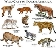 These stunning wild cat posters are great for learning (and admiring!) all the beautiful wild cat species in the cat family Felidae - big cats and small cats. Small Wild Cats, Big Cats, Cats And Kittens, Cats Meowing, Wild Cat Species, Animal Species, Tiger Species, Animals Of The World, Animals And Pets