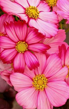 Cosmos flowers - by tanakawkho Sadie's birth flower Amazing Flowers, Pink Flowers, Beautiful Flowers, Cosmos Flowers, Flowers Nature, Birth Flower Tattoos, Birth Flowers, Flower Pictures, Watercolor Flowers