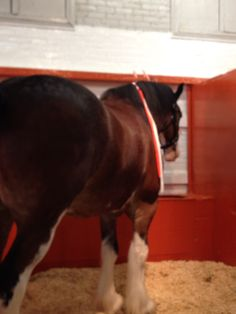 Clydesdale!