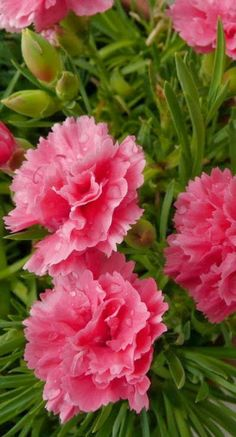 Carnations - Picture Colors: Pink and Green