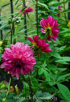 My Cottage Garden - dahlias from costco bulbs - perennial in Common Garden Plants, Flower Pots, Rectangle Garden Design, Cottage Garden, Lavender Plant, Garden Beds, Outdoor Fairy Lights, Garden Bloggers, Summer Garden