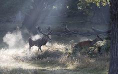 https://flic.kr/p/N6jQeX   Red Deer.   Red Deer Stag chasing hind in Richmond Park, London, England.